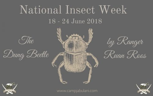 National Insect week - Dung Beetle By Ruan Roos