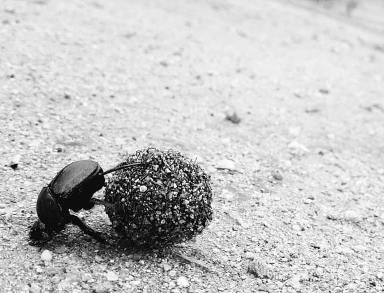 Telecoprid Dung beetle dragging ball of dung