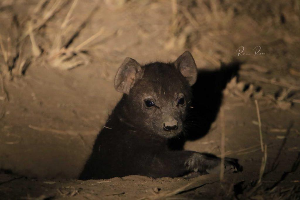 Hyenas at Camp Jabulani