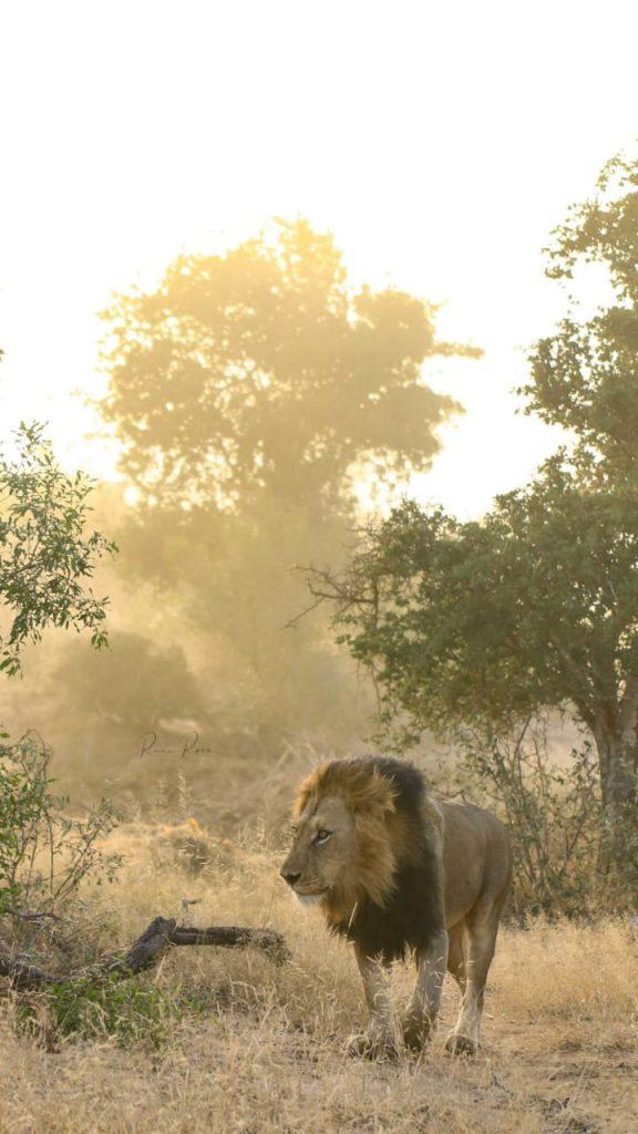 Lions at Kapama