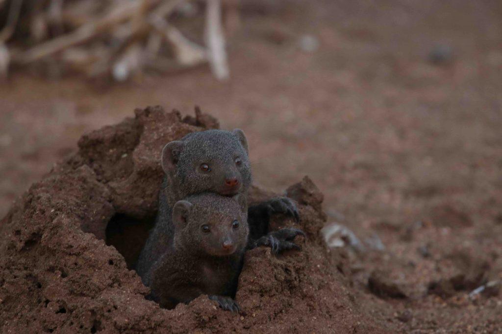 Dwarf Mongoose on the Lookout on Kapama, Camp Jabulani