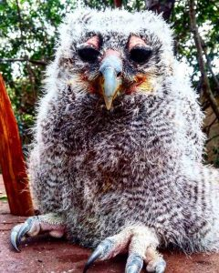 Mtimba as a small owlet