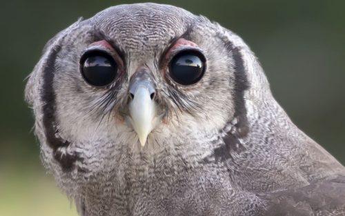 Mtimba - Verreaux's Eagle Owl at Camp Jabulani