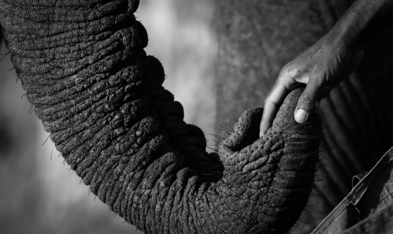 Elephant trunk holds human hand