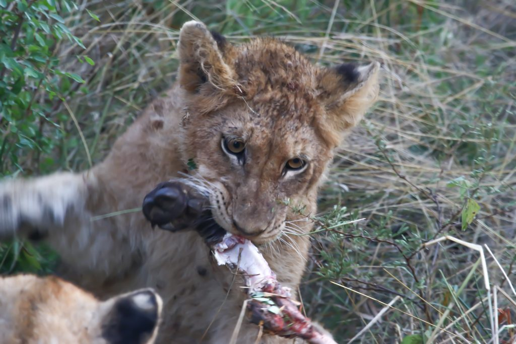 Lion family meal