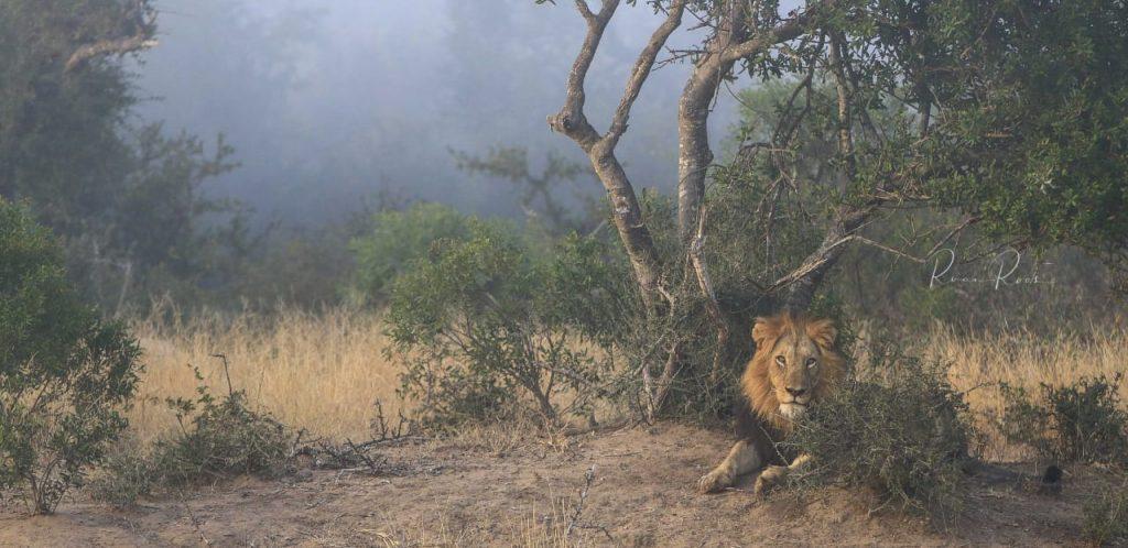 Lions of Kapama
