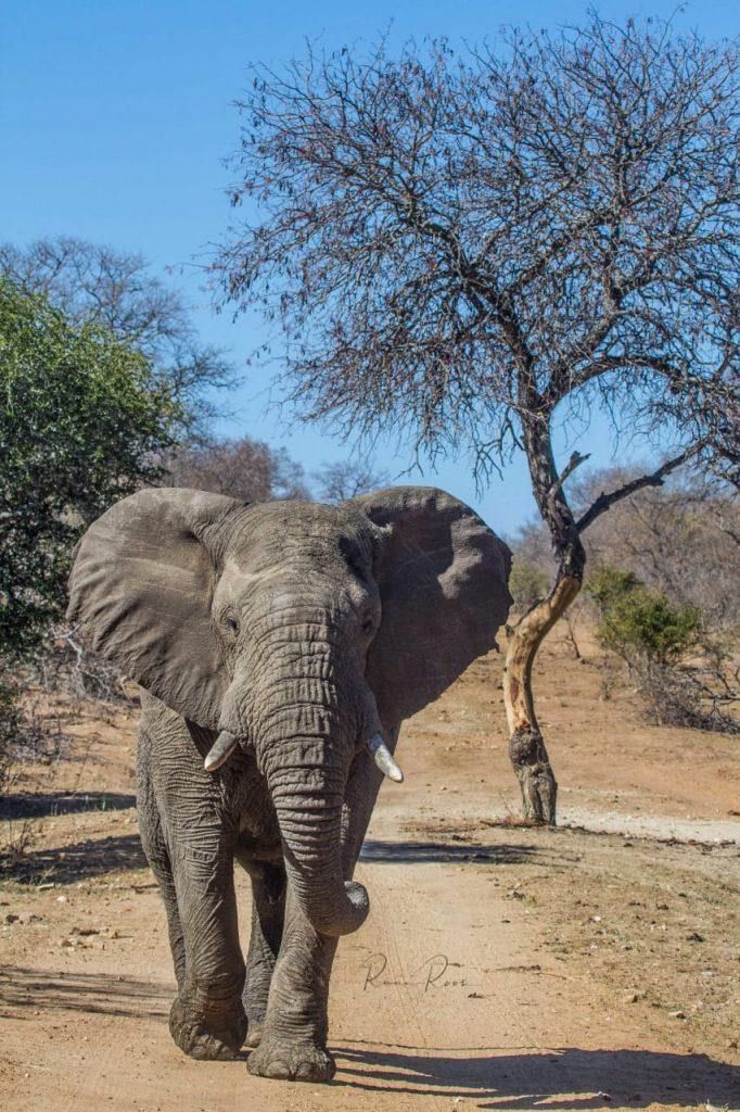 Elephants at Kapama