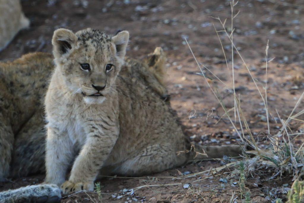 Lion cub at Camp Jabulani