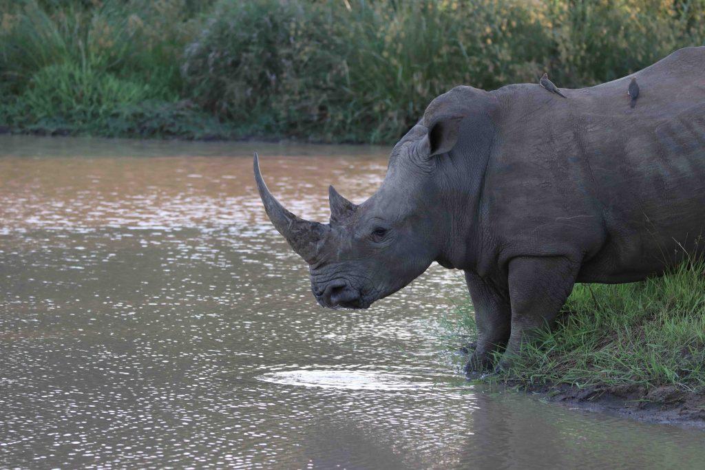 Majestic Rhino drinking water at Camp Jabulani