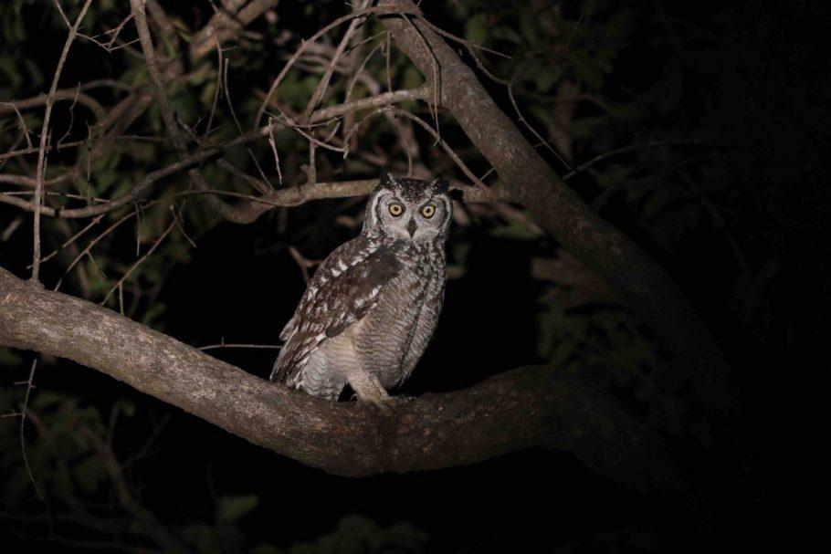 Spotted Eagle Owl Scanning for Prey.