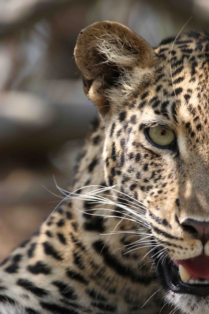 The Deep Stare of a Leopardess