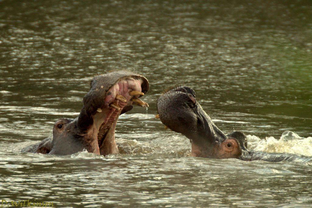 Hippos at Camp Jabulani