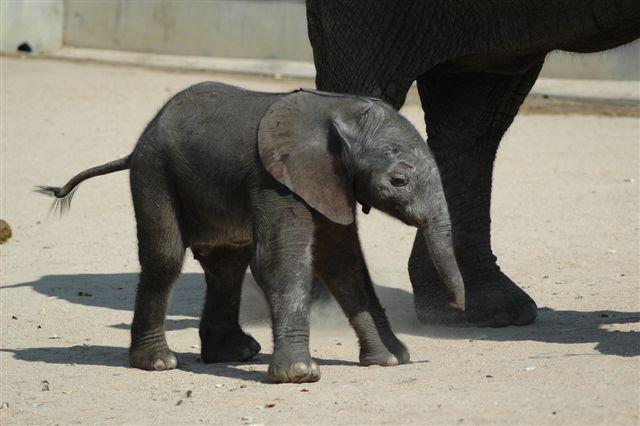 Limpopo as a young calf