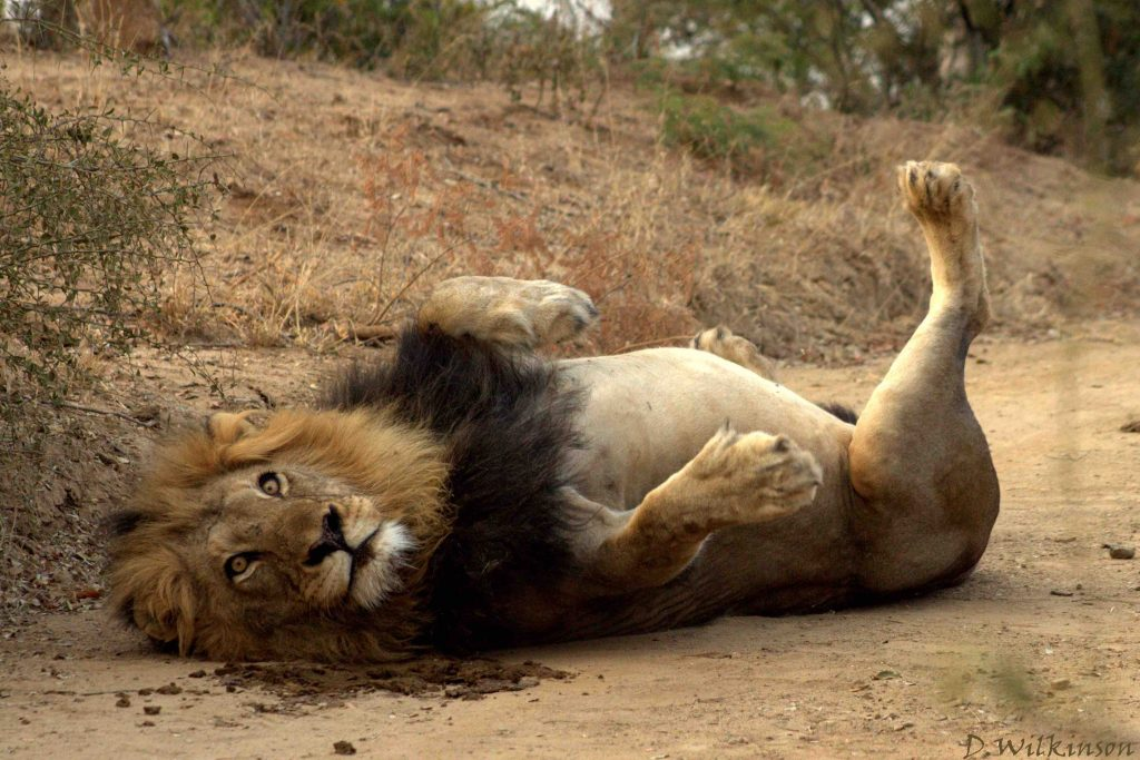 Male lion lying down paws in air