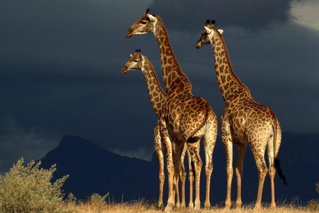Sun shining on giraffe