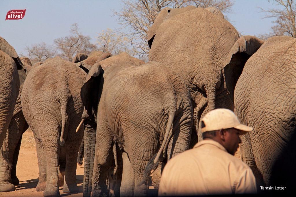 Jabulani_elephants_bee_research_elephantsalive