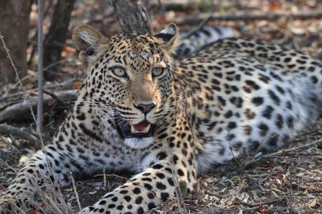 female_leopard_relaxing