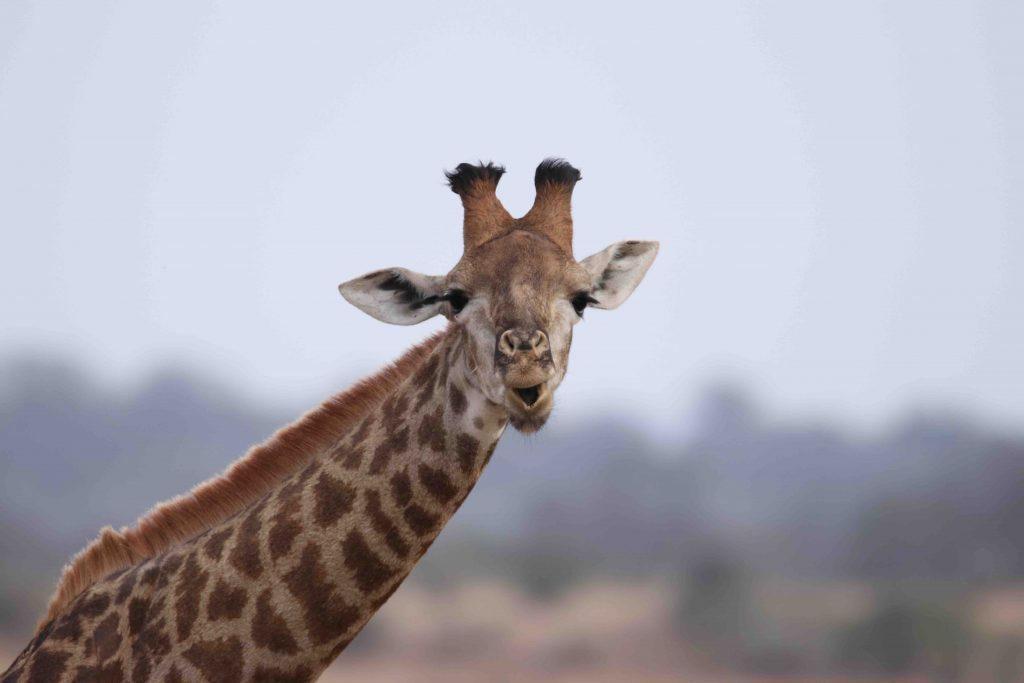 giraffe_chewing_a_bone