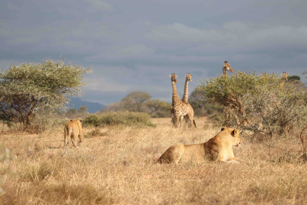 lions_watching_giraffe