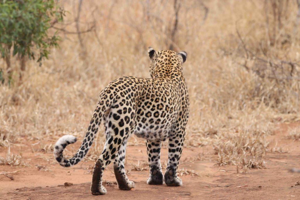 male_leopard_observing _surroundings