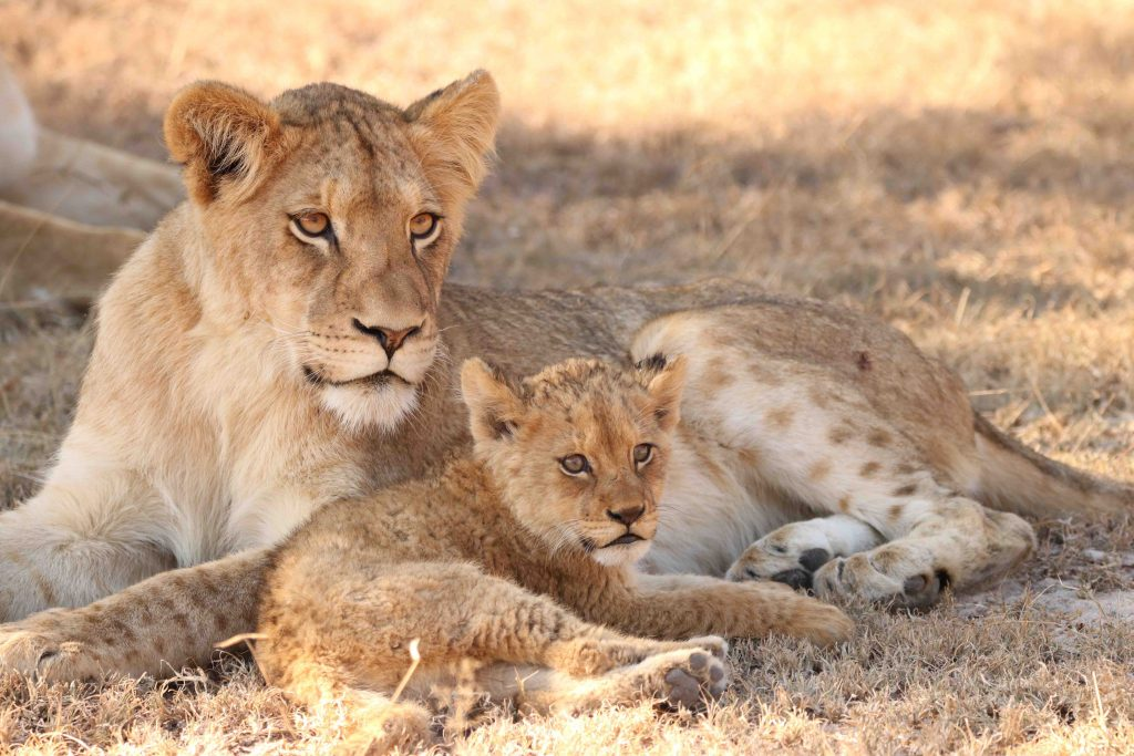 young_lions_watching_mom_hunt