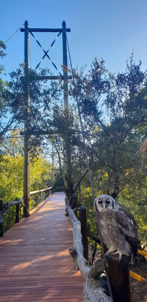 Mtimba_owl_Jabulani_bridge