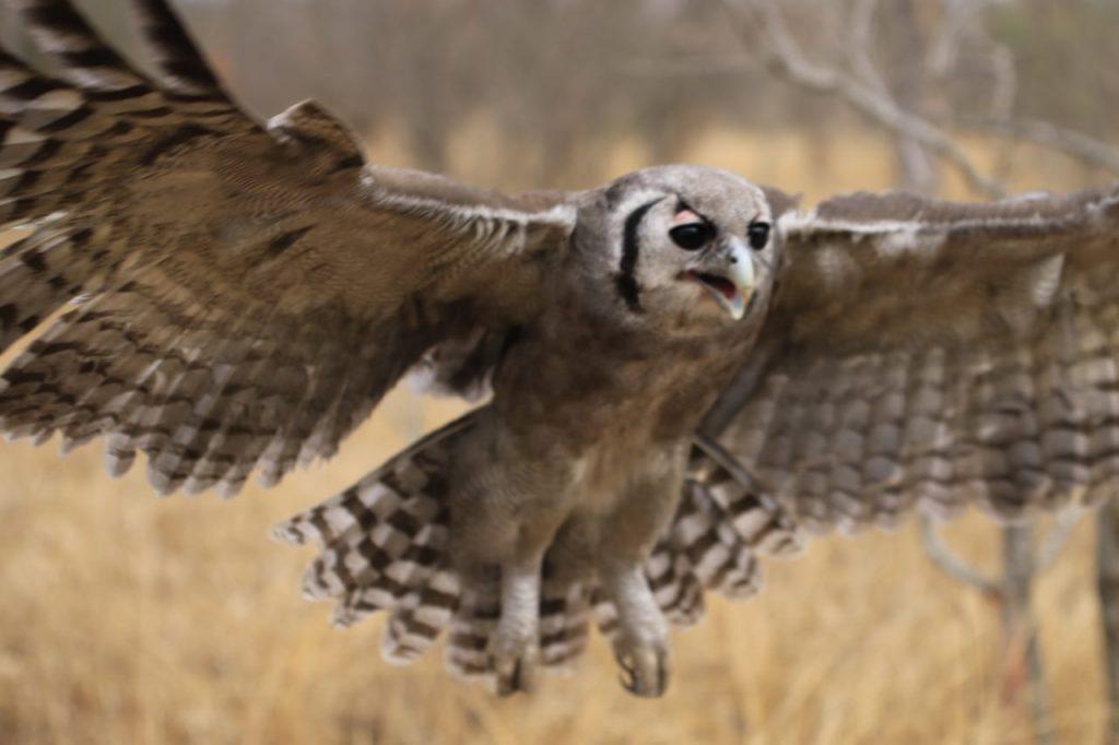 Mtimba_Owl_Flight_campJabulani