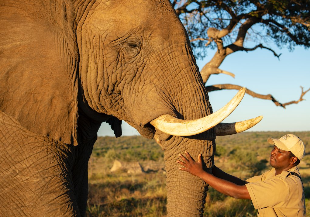 Sebakwe_elephant_with_carer_TIchaona