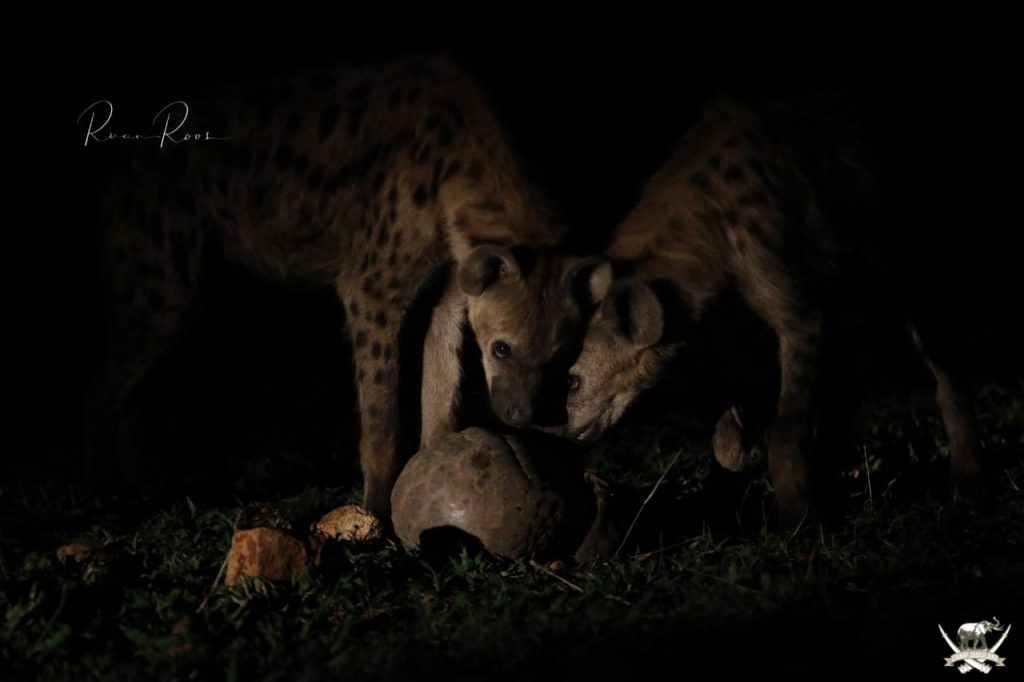 Two_hyenas_pangolin_wildlife_encounter