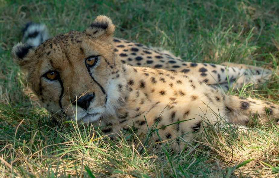 Cheetah_lazing