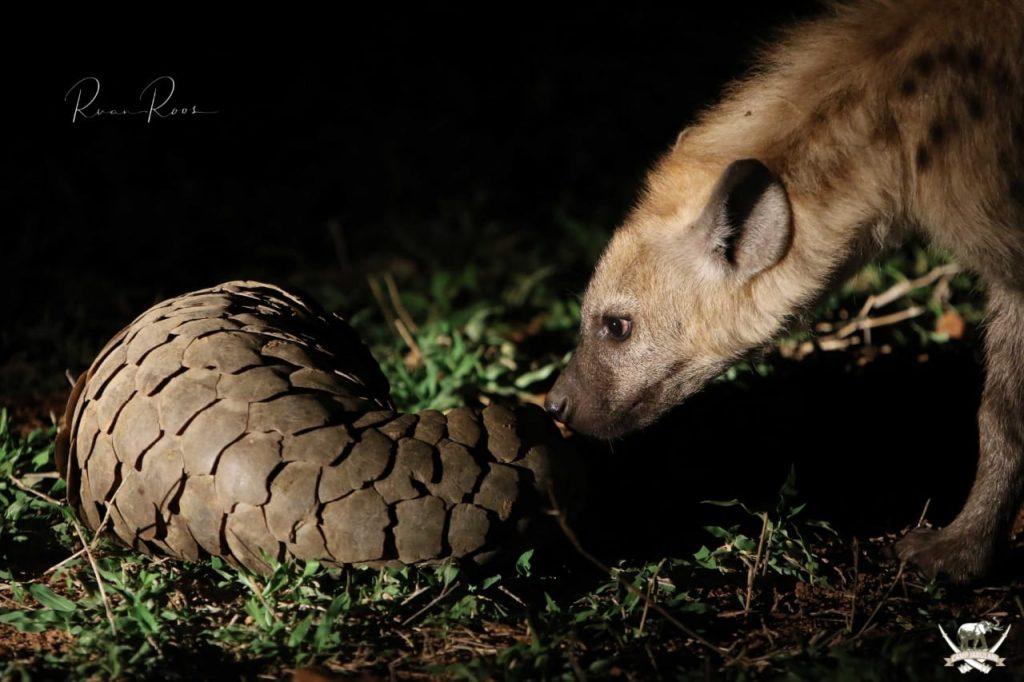 Pangolin_hyena_CampJabulani_Southafrica