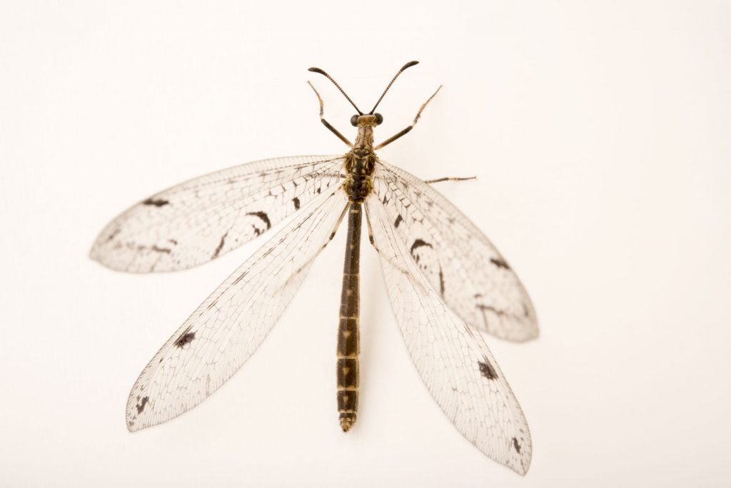Adult Antlion
