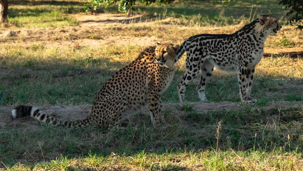 King_cheetah_Normal_Cheetah_HESC