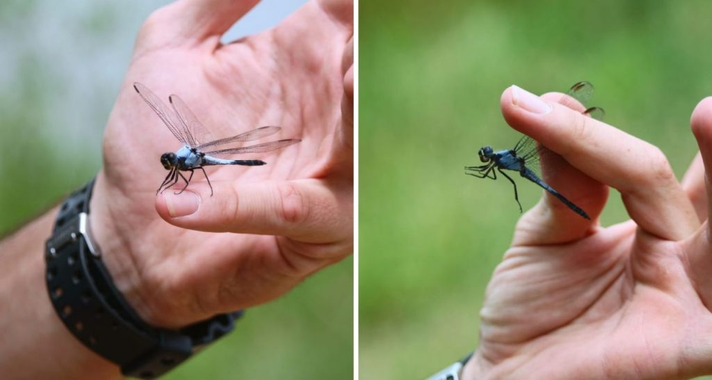 Dragonfly_Catch_and_release