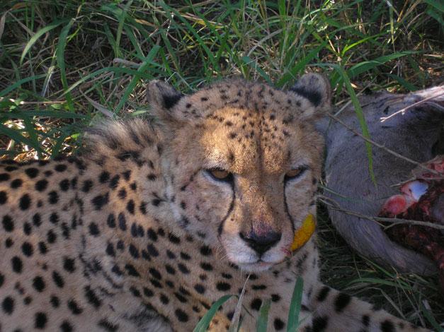 Khula catches a kudu