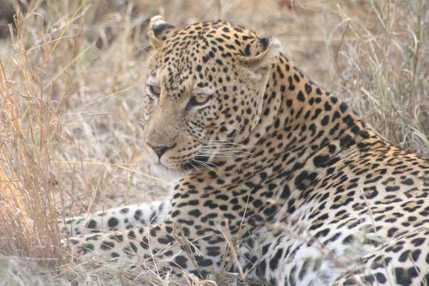 Camp-Jabulani-Leopard