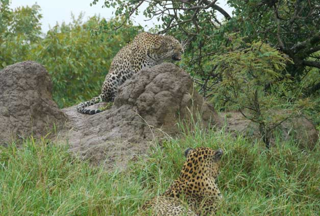 Camp-Jabulani-Mating Leopards