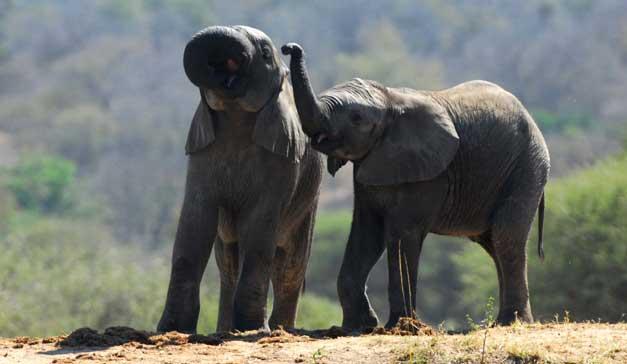 Camp Jabulani - Pisa - Baby elephant