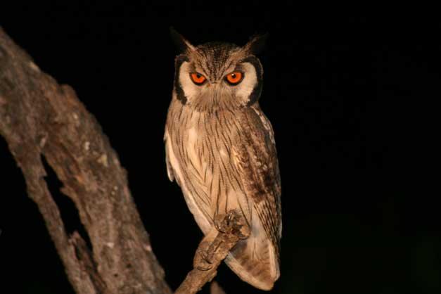 Camp Jabulani - Owl