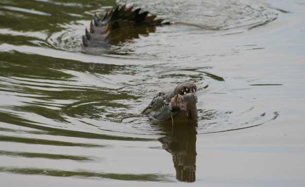 Camp Jabulani-Croc-Bushbuck kill