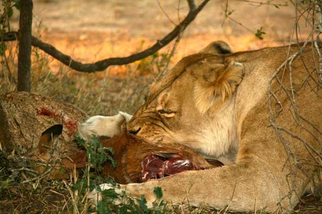 Camp-Jabulani-Lioness eating