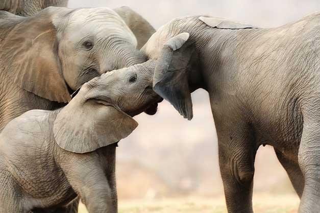 Elephants communing