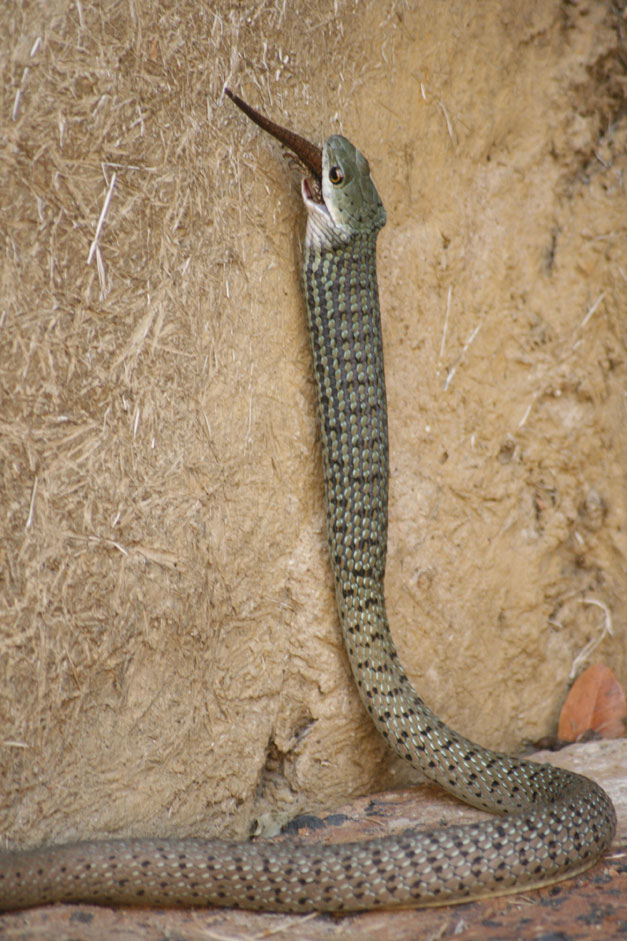 Spotted bush snake swallowing a Side-striped skink