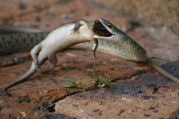 Spotted bush snake with Side-striped skink
