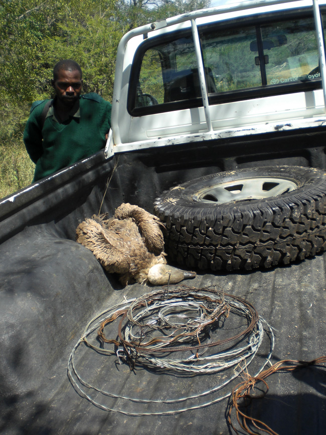 Anti-Poaching - a dead bird and snares found
