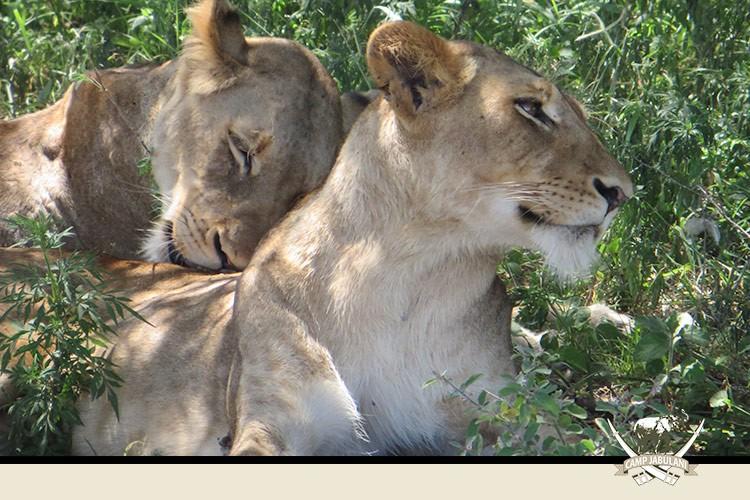 Lions Kapama Reserve