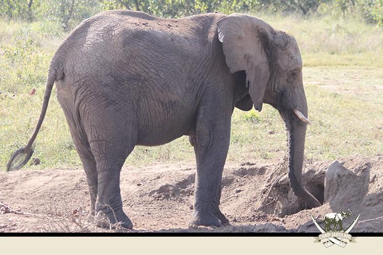 Camp Jabulani Elephant Herd