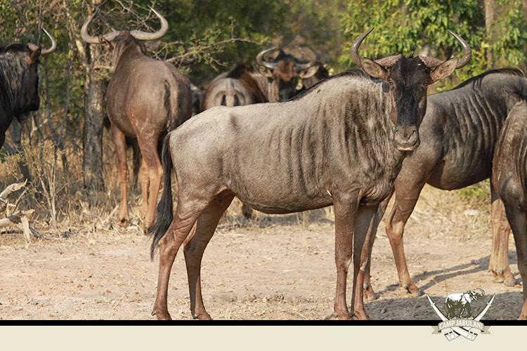 Blue Wildebeest Kapama Game Reserve