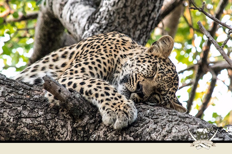 Kapama Game Reserve, Camp Jabulani, Wildlife, Leopard