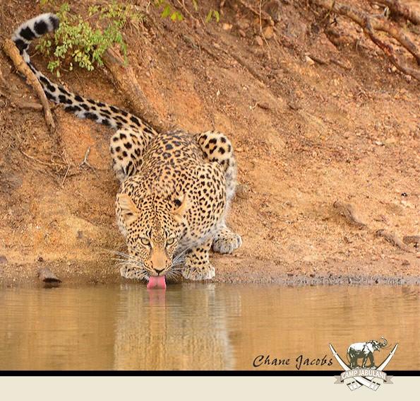 Kapama Game Reserve, Camp Jabulani, Wildlife, Drinking Leopard